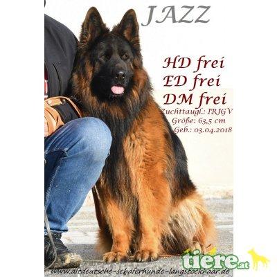 JAZZ, Altdeutsche Schäferhunde - Rüde 1