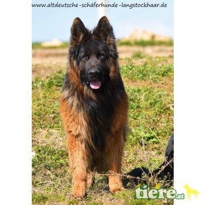 JAZZ, Altdeutsche Schäferhunde - Rüde
