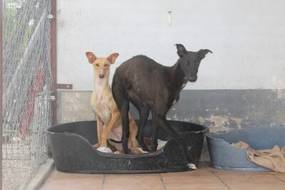 Jacinto, Galgo - Rüde
