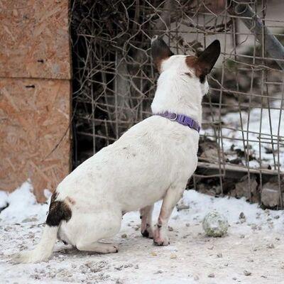 💥Jacky ist verschmust und genießt jede Art von Ansprache und Streicheleinheiten unheimlich💥, Jack-Russell-Terrier - Hündin
