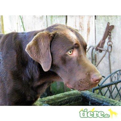 Jalapeno vom Herzogs-Bach, Labrador Retriever - Rüde
