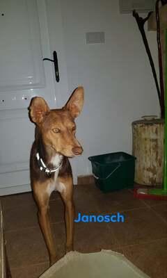 Janosch, Podenco - kastriert - Rüde