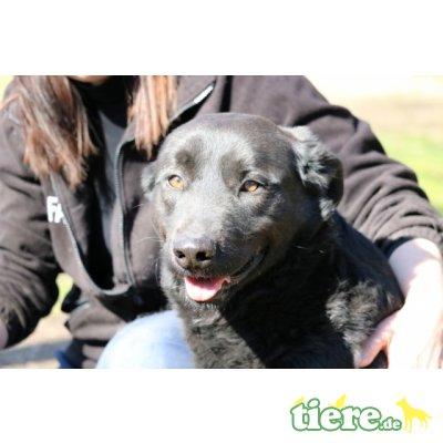 Jonatan, Labrador-Mix sucht sein Zuhause - Rüde