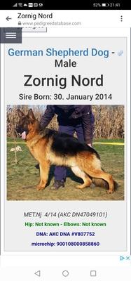 K, Deutscher Schäferhund Welpen - Rüde