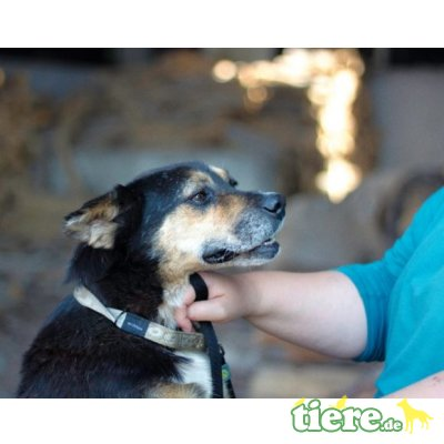 Kalle, Entlebucher Sennenhund-Terrier-Mix - Rüde