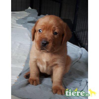 Labrador Retriever - Rüde
