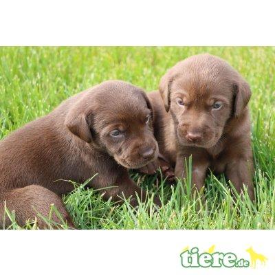 Labrador Retriever Welpen - Hündin