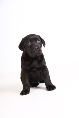 Labrador Retriever Welpen - Rüde