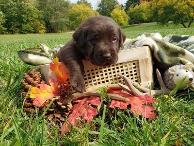 Labrador Retriever Welpen - Rüde 1