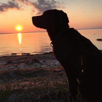 Labrador Welpen - Hündin