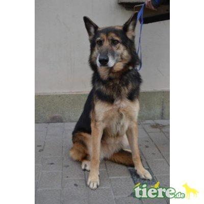 Lara, Deutscher Schäferhund - Hündin 1