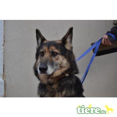 Lara, Deutscher Schäferhund - Hündin