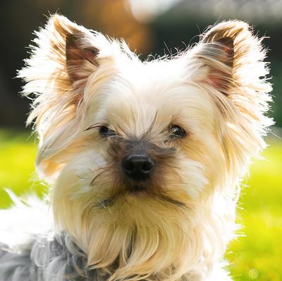 Lauri, Yorkshire Terrier - Rüde 1