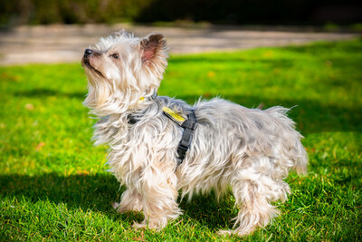 Lauri, Yorkshire Terrier - Rüde