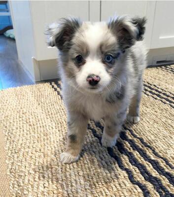 Leo, Australian Shepherd Dog Welpen - Rüde 1