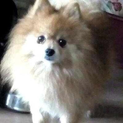 💖🌼 Leo kleiner Pomeranian sucht tolles Zuhause💥, Pomeranian - Rüde