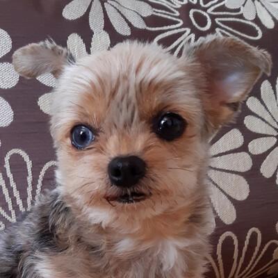 Lillylein, Mini Yorkshire-Terrier - Hündin 1