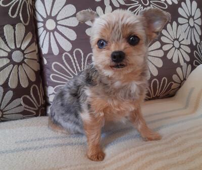 Lillylein, Mini Yorkshire-Terrier - Hündin