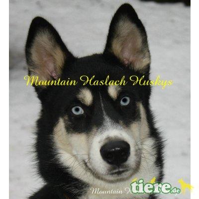 Lobo, Siberian Husky - Rüde
