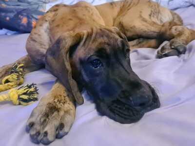 Loki, Deutsche Dogge - Rüde