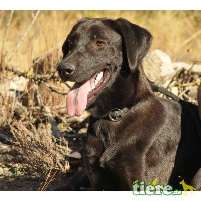 Lorenza, Labrador-Mix - Hündin
