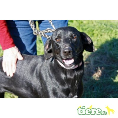 Luca, Labrador-Mix - Rüde