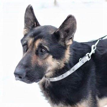 🐕🦺Lucky sucht hundeerfahrene Menschen 🐕🦺, Deutscher Schäferhund - Rüde