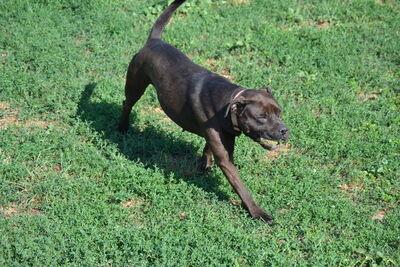 Lucy, Staffordshire Terrier Mix - Hündin