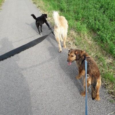 MAJO Mischlingsrüde kastriert, Terriermix - Rüde