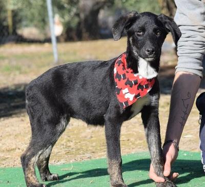 MANDARINA - Ubeda, Herdenschutzhund-Mischling - unkastriert Welpen - Hündin