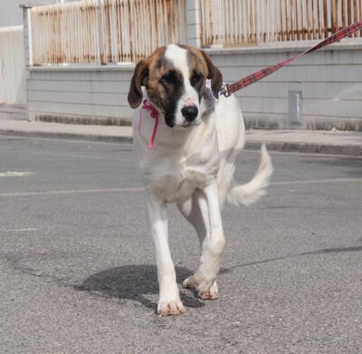 MAYA - Ubda, Herdenschutzhund - kastriert - Hündin