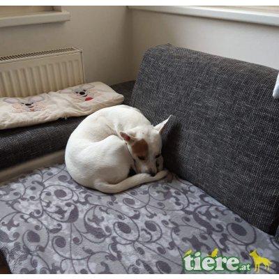 MISTER SPOCK, Staffordshire-Bullterrier-Jack Russellmixrüde - Rüde
