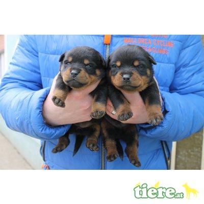 Männliche und weibliche, Rottweiler Welpen - Rüde
