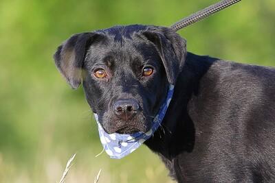 Marcell, Labrador-Mischlingsrüde - Rüde