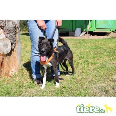 Maxo, Terrier - Rüde
