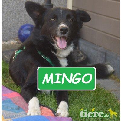 Mingo - der Schöne!, Border-Collie - Rüde 1