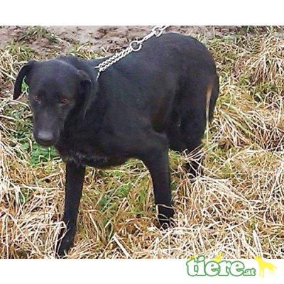 NAGY BOGI -  55 cm  - NOTFALL, 13+!, Labrador Mischling - Rüde