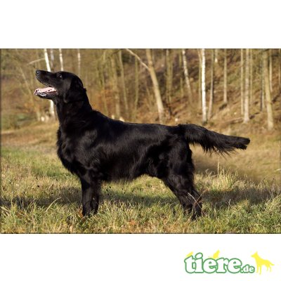 NASH FROM DISNEY MEGA OSKARAS, Flat Coated Retriever - Rüde