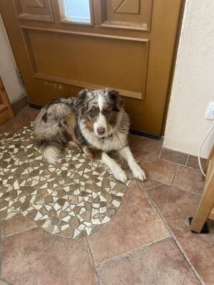Nelly, Australian Shepherd Dog - Hündin