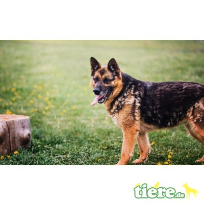 Nina, Schäferhund - Hündin