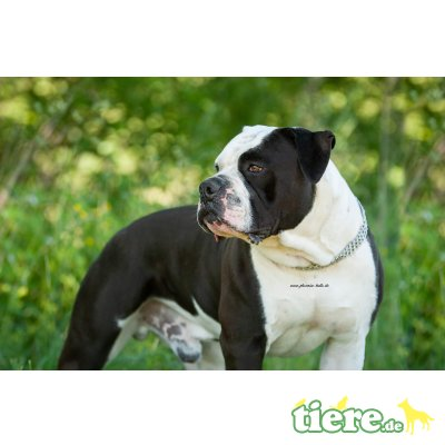 Olde English Bulldogge - Rüde