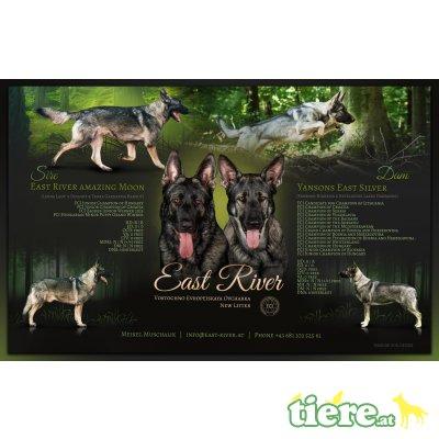 Osteuropäischer Schäferhund Welpen, Osteuropäischer Schäferhund Welpen - Rüde