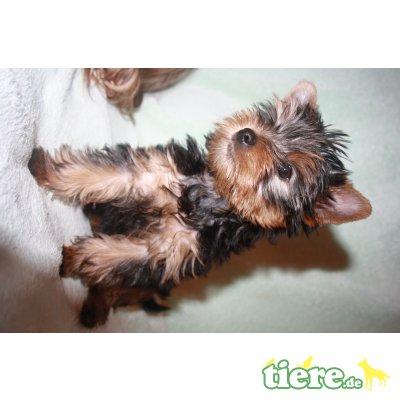 P-Wurf, Yorkshire Terrier Welpen - Rüde 1
