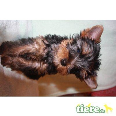 P-Wurf, Yorkshire Terrier Welpen - Rüde