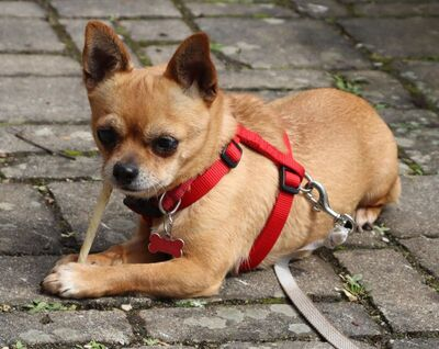 PATI - Linares - kastriert, Chihuahua - Hündin