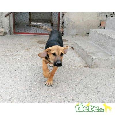 Paco, gibst du mir ein, Jagdhund Mischling - Rüde