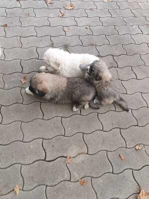 Pyrenäenberghund Welpen - Hündin 1
