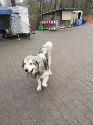Pyrenäenberghund Welpen - Hündin