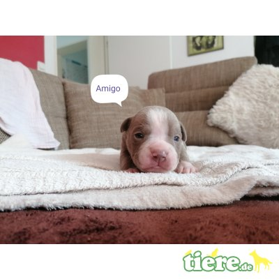 R:Ace Arlo Amigo Alec W: Ayla Alani Aquila, Olde English Bulldogge Welpen - Rüde 1