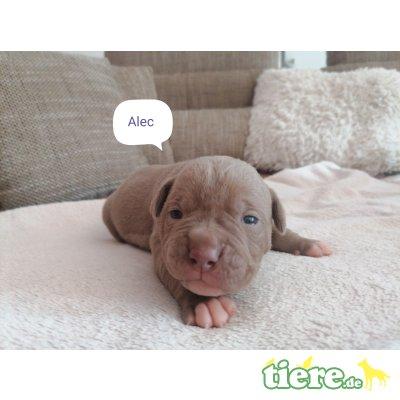 R:Ace Arlo Amigo Alec W: Ayla Alani Aquila, Olde English Bulldogge Welpen - Rüde